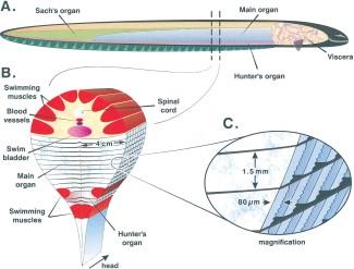 eel_anatomy1